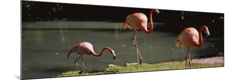 Three Flamingos Foraging by a Pond, Jungle Gardens, Sarasota, Florida, USA--Mounted Photographic Print