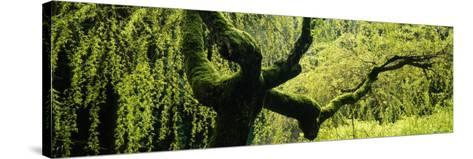 Moss on a Weeping Willow Tree, Japanese Garden, Washington Park, Portland, Oregon, USA--Stretched Canvas Print