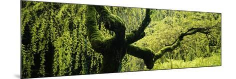 Moss on a Weeping Willow Tree, Japanese Garden, Washington Park, Portland, Oregon, USA--Mounted Photographic Print