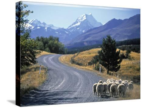 Sheep Nr. Mt. Cook, New Zealand-Peter Adams-Stretched Canvas Print
