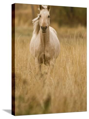 Horse, Montana, USA-Russell Young-Stretched Canvas Print