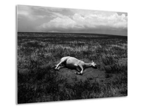 Horse Lying on Side in Field-Krzysztof Rost-Metal Print