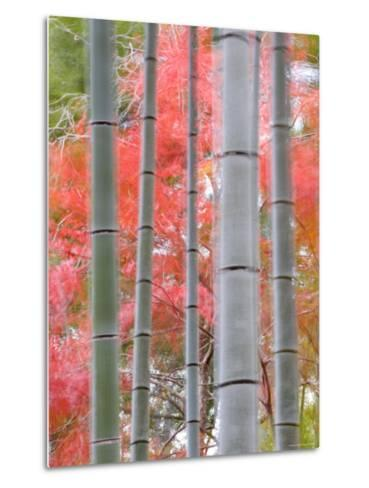 Maples Trees and Bamboo, Arashiyama, Kyoto, Japan-Gavin Hellier-Metal Print