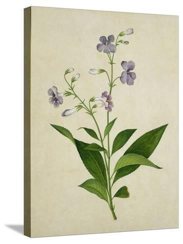 Bush Thunbergia, c.1800-1840--Stretched Canvas Print