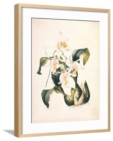 Botanical Watercolour: Orchid, Coelogyne Interrupta-Samuel Holden-Framed Art Print
