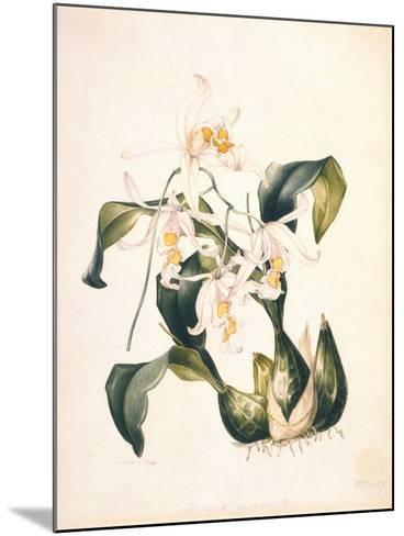 Botanical Watercolour: Orchid, Coelogyne Interrupta-Samuel Holden-Mounted Giclee Print