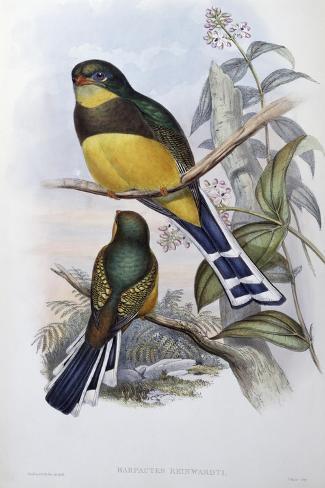 Reinwardt's Trogon-John Gould-Stretched Canvas Print