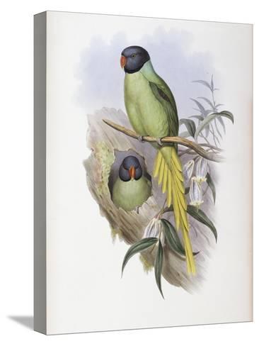 Slaty Headed Parakeet-John Gould-Stretched Canvas Print