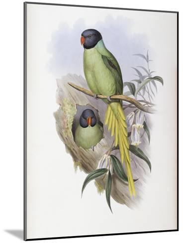 Slaty Headed Parakeet-John Gould-Mounted Giclee Print