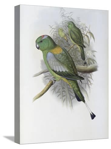 Racket Tailed Parrot-John Gould-Stretched Canvas Print