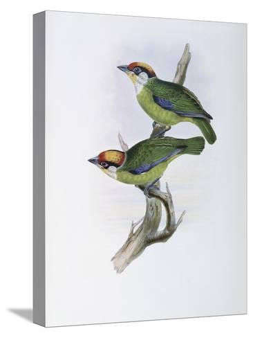 Franklin's Barbet-John Gould-Stretched Canvas Print