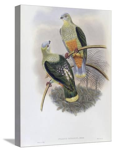Richard's Fruit Pigeon-John Gould-Stretched Canvas Print