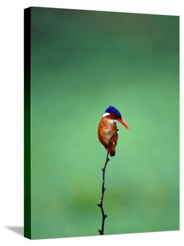 Malachite Kingfisher, Alcedo Cristata Galerita-Elizabeth DeLaney-Stretched Canvas Print