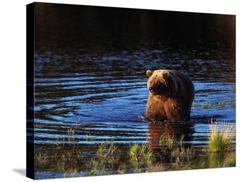 Grizzly Bear, Ursus Arctos Middendorffi, AK-D^ Robert Franz-Stretched Canvas Print
