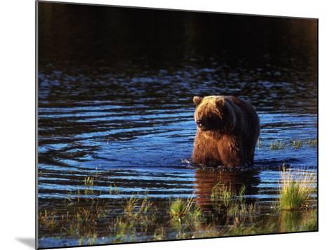 Grizzly Bear, Ursus Arctos Middendorffi, AK-D^ Robert Franz-Mounted Photographic Print