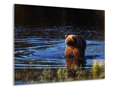 Grizzly Bear, Ursus Arctos Middendorffi, AK-D^ Robert Franz-Metal Print