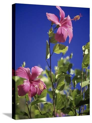 Pink Hibiscus-Chel Beeson-Stretched Canvas Print