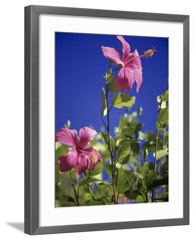 Pink Hibiscus-Chel Beeson-Framed Art Print