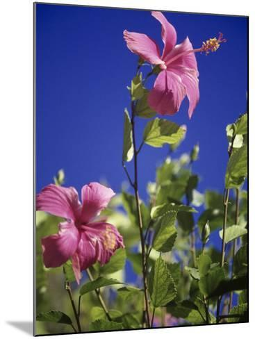 Pink Hibiscus-Chel Beeson-Mounted Photographic Print