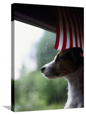 Jack Russell Terrier Near Window with American Flag-Jim Corwin-Stretched Canvas Print