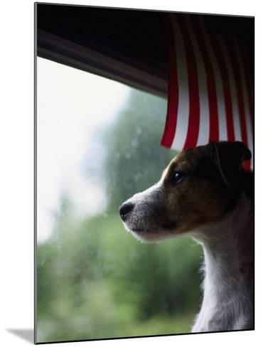 Jack Russell Terrier Near Window with American Flag-Jim Corwin-Mounted Photographic Print