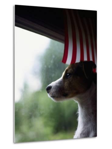 Jack Russell Terrier Near Window with American Flag-Jim Corwin-Metal Print