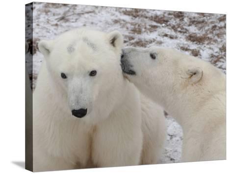 Polar Bears, Churchill, Manitoba-Keith Levit-Stretched Canvas Print