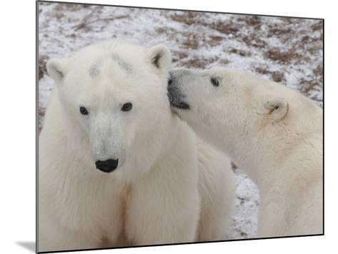 Polar Bears, Churchill, Manitoba-Keith Levit-Mounted Photographic Print