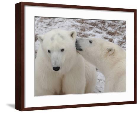 Polar Bears, Churchill, Manitoba-Keith Levit-Framed Art Print