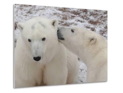 Polar Bears, Churchill, Manitoba-Keith Levit-Metal Print