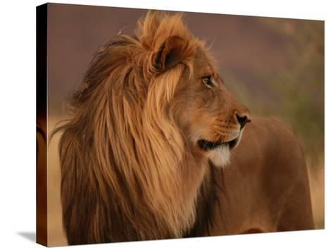 Male Lion, Namibia, South Africa-Keith Levit-Stretched Canvas Print