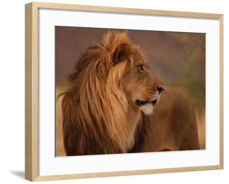 Male Lion, Namibia, South Africa-Keith Levit-Framed Art Print