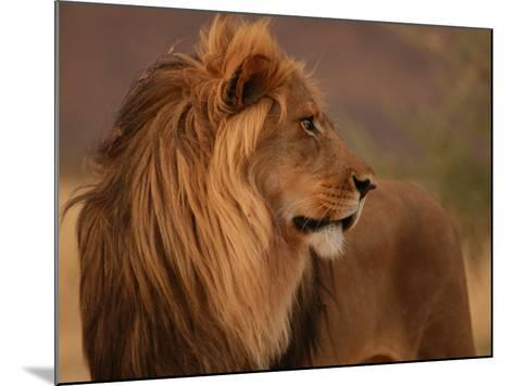 Male Lion, Namibia, South Africa-Keith Levit-Mounted Photographic Print