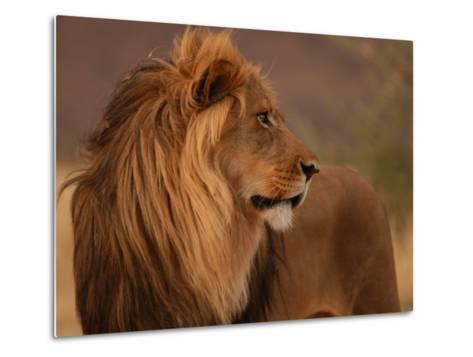 Male Lion, Namibia, South Africa-Keith Levit-Metal Print