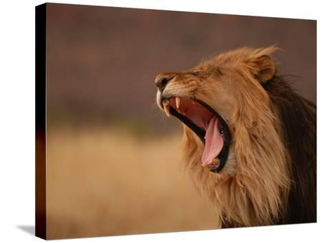 Male Lion Roaring, Namibia, South Africa-Keith Levit-Stretched Canvas Print