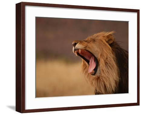 Male Lion Roaring, Namibia, South Africa-Keith Levit-Framed Art Print