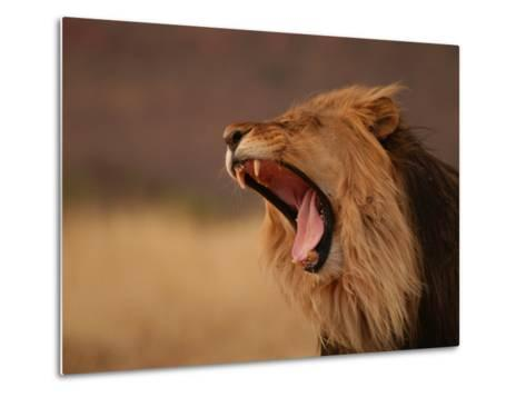 Male Lion Roaring, Namibia, South Africa-Keith Levit-Metal Print