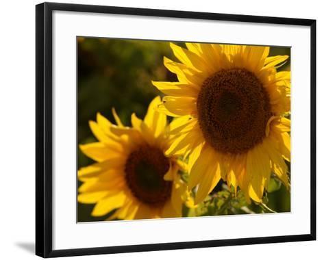 Sunflowers in Prairie Fields-Keith Levit-Framed Art Print