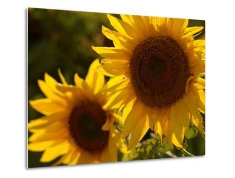 Sunflowers in Prairie Fields-Keith Levit-Metal Print