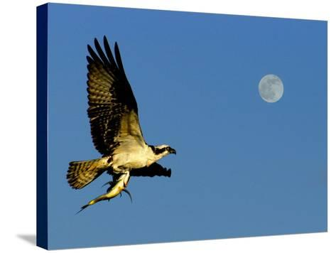 Osprey in Flight with Fish in Talon-Russell Burden-Stretched Canvas Print