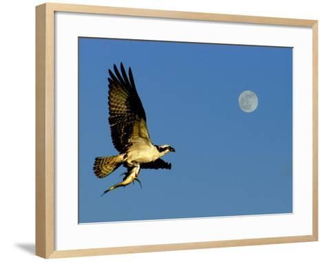 Osprey in Flight with Fish in Talon-Russell Burden-Framed Art Print