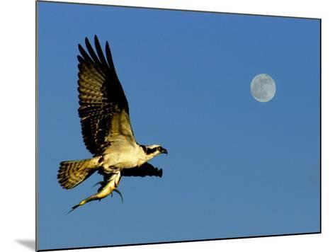 Osprey in Flight with Fish in Talon-Russell Burden-Mounted Photographic Print