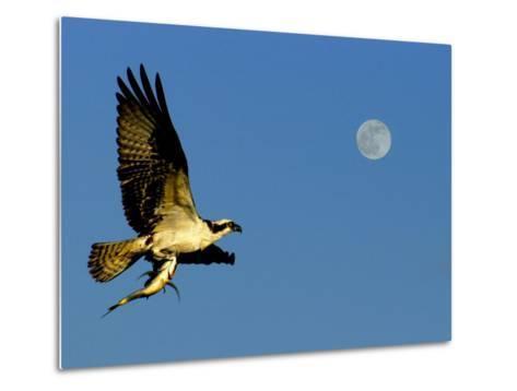 Osprey in Flight with Fish in Talon-Russell Burden-Metal Print