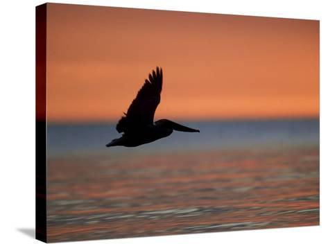 Brown Pelican, Flying, USA-Olaf Broders-Stretched Canvas Print