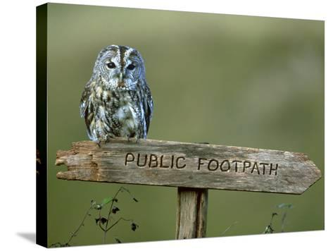 Tawny Owl, Perched on Public Footpath Sign, Scotland-Jonathan Gale-Stretched Canvas Print