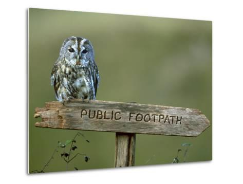 Tawny Owl, Perched on Public Footpath Sign, Scotland-Jonathan Gale-Metal Print