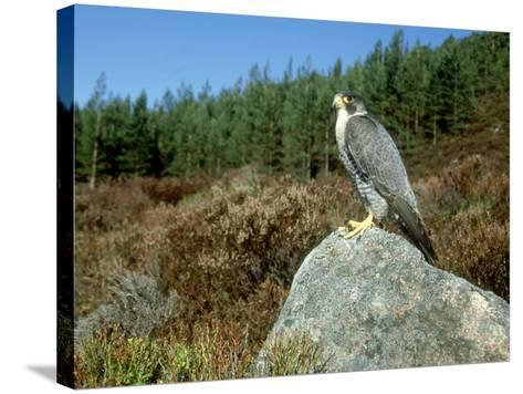 Peregrine Falcon, Strathspey, UK-Mark Hamblin-Stretched Canvas Print