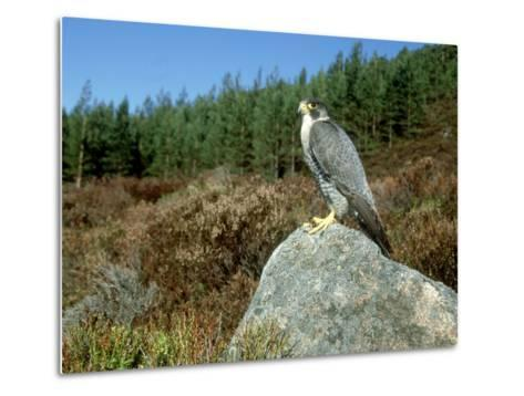 Peregrine Falcon, Strathspey, UK-Mark Hamblin-Metal Print