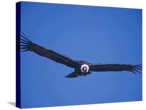Andean Condor, Peru-Mark Jones-Stretched Canvas Print