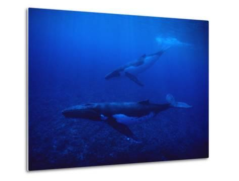 Humpback Whale, Mother and Calf, Polynesia-Gerard Soury-Metal Print